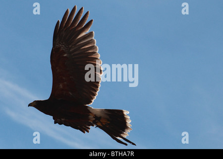 hawk in flight - Stock Photo