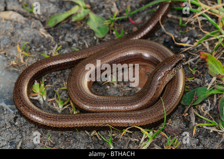 An adult slow worm coiled up at rest. Dorset, UK April 2010 - Stock Photo