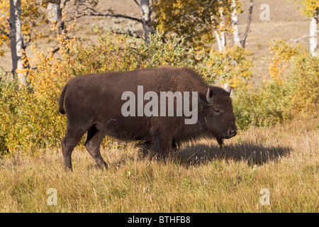 American Bison - young cow - Stock Photo