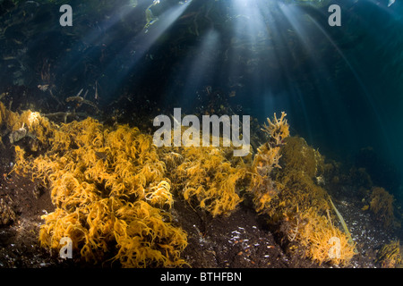 Fine, yellow rope sponges thrive along the edge of Jellyfish Lake. Palau, Micronesia, Pacific Ocean. - Stock Photo