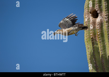Gila Woodpecker (Melanerpes uropygialis) Sonoran Desert -Arizona removing fecal sac from nest in Saguaro cactus - Stock Photo