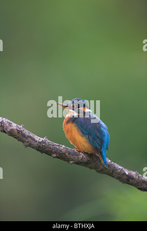 Common Kingfisher Alcedo atthis perched on branch with blurred background at Banwell River, Somerset in September. - Stock Photo