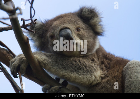 Koala (Phascolarctos cinereus) looking down from a eucalyptus tree branch - Stock Photo