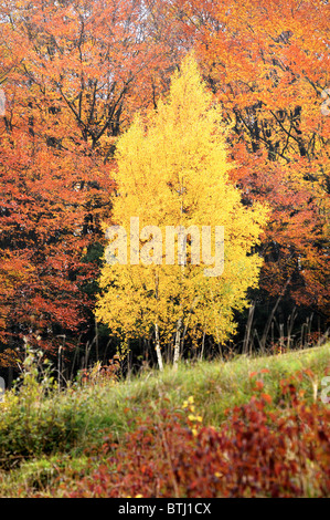 Silver Birch in autumnal colours in woodland - Stock Photo