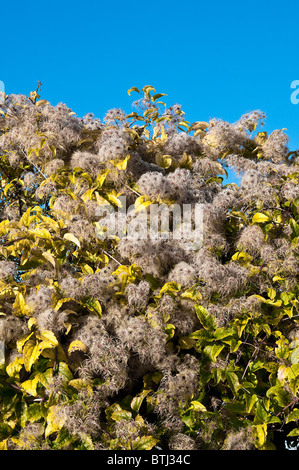 Traveller's Joy / Old Man's Beard / Clematis vitalba - France. - Stock Photo