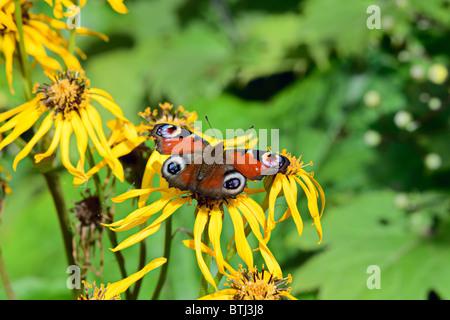 European Peacock butterfly (inachis io) on summer ragwort (ligularia dentata) in bright sunshine - Stock Photo