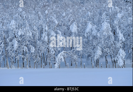 Deep, heavy snow on trees in forest. - Stock Photo