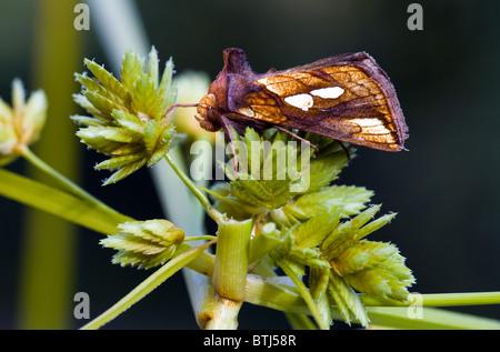 gold spot moth(plusia festucae) - Stock Photo