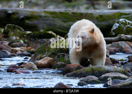 Spirit Bear -Ursus americanus kermodei from Gribbell Island British Columbia Canada. Only found on 2 islands in - Stock Photo