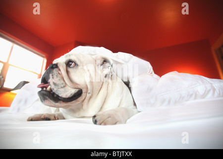 happy  bull dog laying on bed under covers - Stock Photo