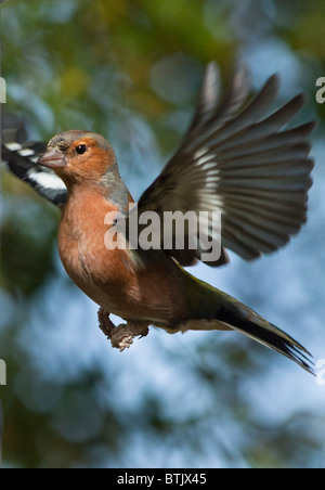 Male Chaffinch in flight - Stock Photo