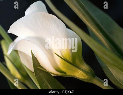 Macro image of ivory white flower - Stock Photo