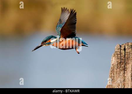 Kingfisher, Alcedo atthis, single bird in flight, Midlands, October 2010 - Stock Photo