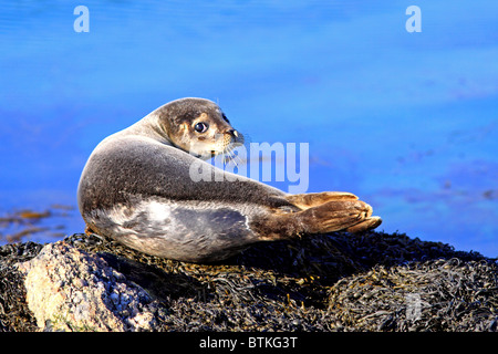 Young Common Seal on rocks - Stock Photo