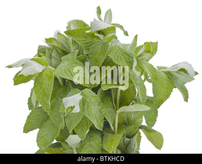 Bunch of green wet mint - Stock Photo