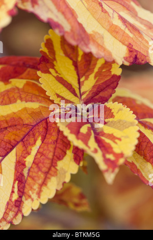 Close up view of the beautiful Coleus 'Freckles' - Stock Photo