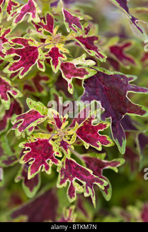 Beautiful red and green foliage of the Coleus 'Wisley Tapestry' in Autumn - Stock Photo