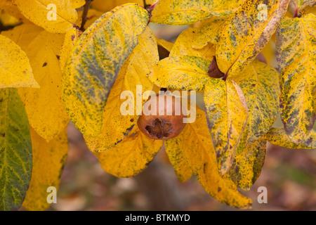 Common Medlar tree fruit. Mespilus germanica - Stock Photo