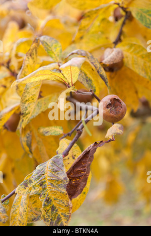 Common Medlar tree fruit. Mespilus germanica - Stock Photo