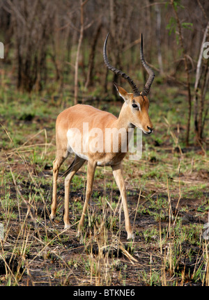 Male Impala, Aepyceros melampus, Bovidae. Kruger National Park, South Africa. - Stock Photo
