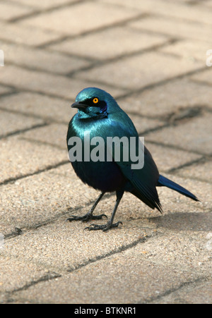 Cape Glossy Starling, Lamprotornis nitens, Sturnidae, South Africa - Stock Photo