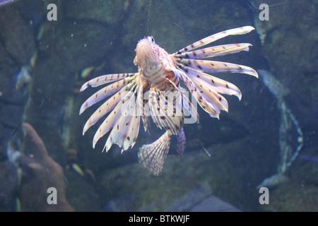 Red Lion Fish / Pterois Volitans - Stock Photo