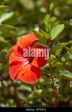 Chinese hibiscus (Hibiscus rosa sinensis) red flower close up. Crete, Greece. - Stock Photo