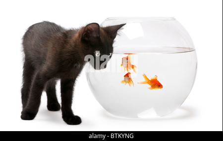 Black kitten looking at Goldfish, Carassius Auratus, swimming in fish bowl in front of white background - Stock Photo