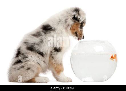 Australian Shepherd looking at Goldfish, Carassius Auratus, swimming in fish bowl in front of white background - Stock Photo