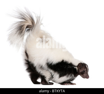 Striped Skunk, Mephitis Mephitis, 5 years old, standing in front of white background - Stock Photo