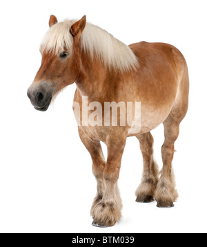 Belgian horse, Belgian Heavy Horse, Brabancon, a draft horse breed, 10 years old, standing in front of white background - Stock Photo