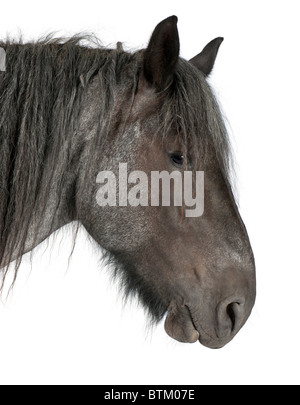 Close-up of Belgian Heavy Horse, Brabancon, a draft horse breed, standing in front of white background - Stock Photo