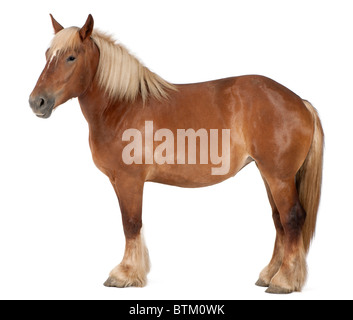 Belgian horse, Belgian Heavy Horse, Brabancon, a draft horse breed, 4 years old, standing in front of white background - Stock Photo