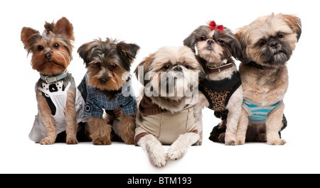 Shih Tzu's, 3 and 2 years old, 8 months old, & Yorkshire Terriers, 2 years old and 6 months old, in front of white - Stock Photo