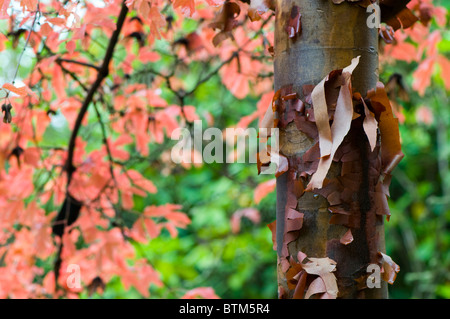Autumn colored leaves of Acer Griseum, Paper bark maple tree - Stock Photo