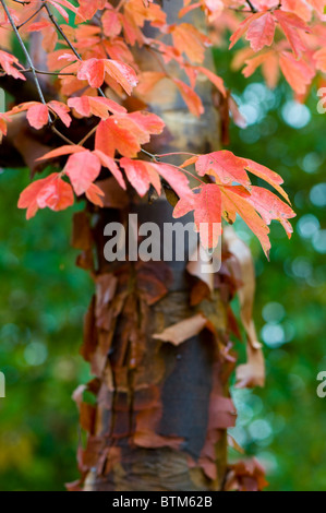 Autumn coloured leaves of Acer Griseum - paper bark maple tree - Stock Photo
