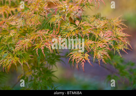 Close-up image of the vibrant Autumn/Fall coloured leaves of Acer Palmatum the Japanese Maple tree, image taken - Stock Photo