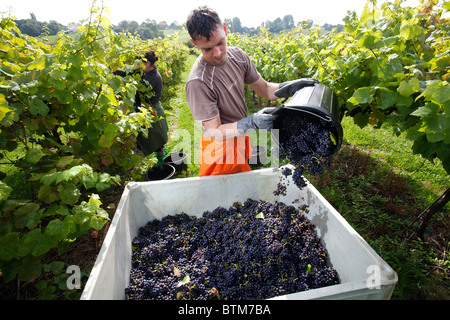 A Polish worker picking grapes at the Three Choirs Vineyard in Herefordshire, UK - Stock Photo