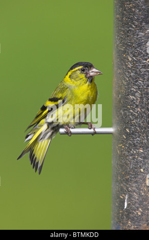 Eurasian Siskin Carduelis spinus adult male perched on bird feeder at Loch Frisa, Isle of Mull, Scotland in May. - Stock Photo