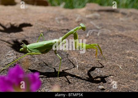 Green Preying Mantis - Stock Photo