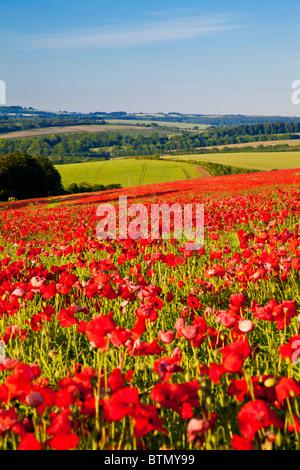 Poppy fields in sunshine on the Marlborough Downs, Wiltshire, England, UK - Stock Photo