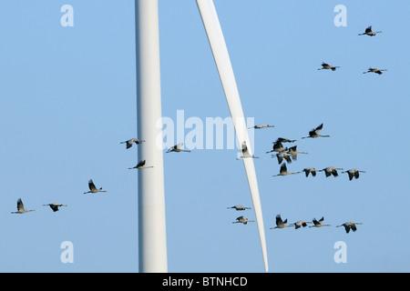 Common / Eurasian crane flock (Grus grus) flying close to blade of wind turbine. Near Diepholz, Lower Saxony, Germany.