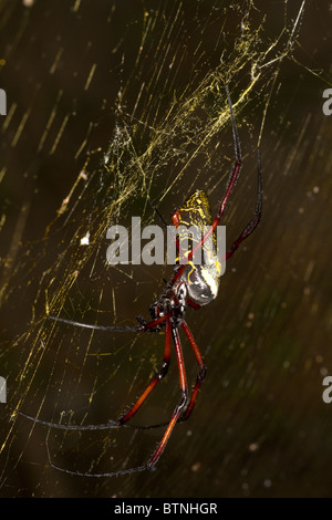 Nephila madagascariensis, orb spider, Madagascar - Stock Photo