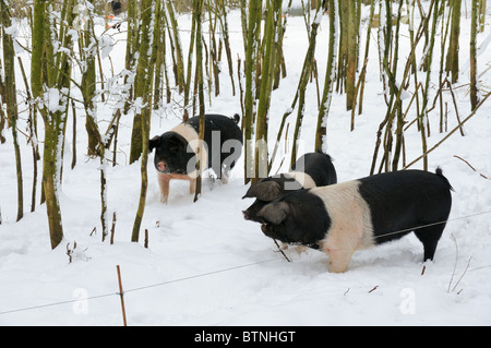 Free range Wessex saddleback pigs (Sus scrofa domestica) in snow covered woodland enclosure. Wiltshire, UK, February. - Stock Photo