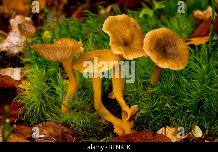 Brown Chanterelle, or Winter Chanterelle, Cantharellus infundibuliformis among mosses, beechwood in Autumn, New - Stock Photo