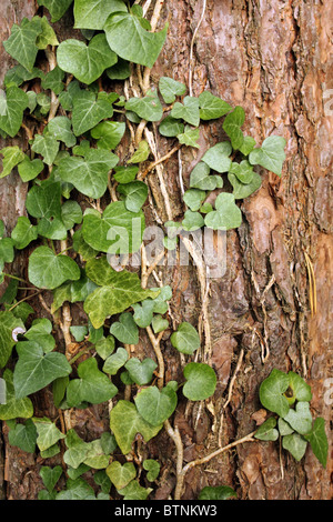 Close up shot of ivy climbing up a tree trunk - Stock Photo