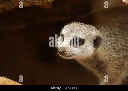 Meerkat (Suricata suricatta), also known as suricate - Stock Photo