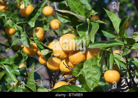 ripe oranges are hanging on a tree - Stock Photo