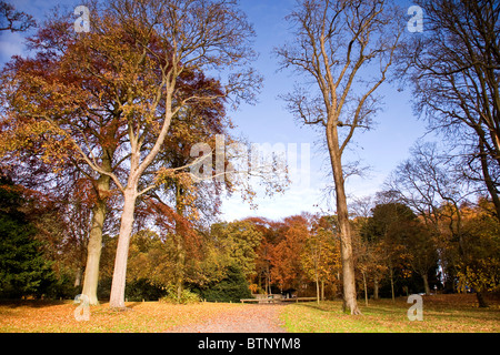 Trees in a row shedding their Autumn Colours in November at the North entrance of Camperdown Country Park in Dundee,UK - Stock Photo