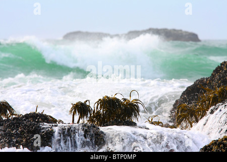 Sea palms growing on rock take a beating from the incoming Pacific Ocean tide and its large greenish blue and white - Stock Photo
